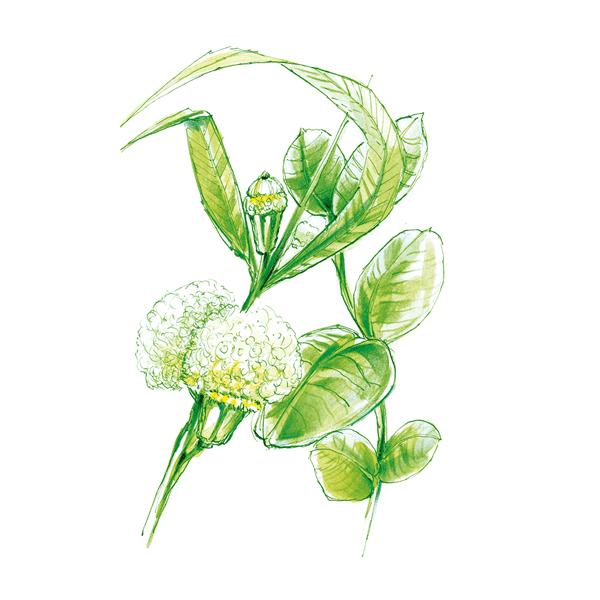 eucalyptus globulus plant drawing